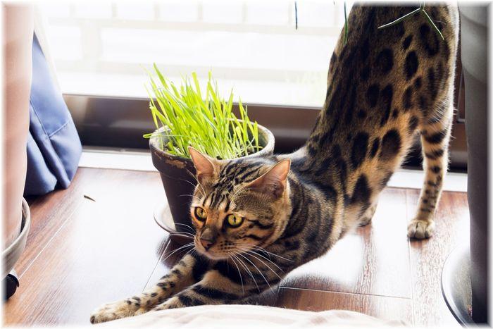 ベンガルヤマネコ ペット